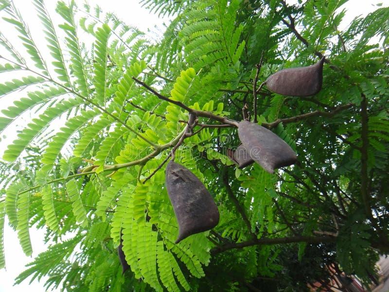 Filialer av sappanwood med den mogna fröskidan royaltyfri bild