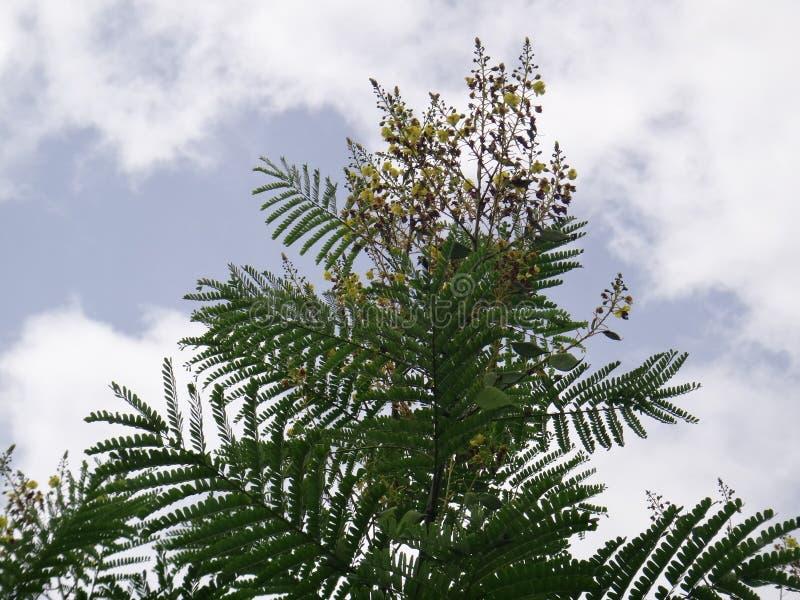 Filialer av sappanwood med den omogna fröskidan och inflorescencen - gul blomma royaltyfria foton