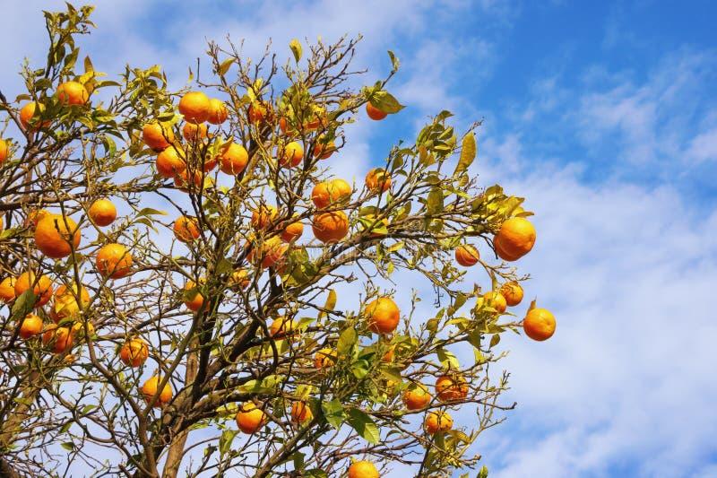 Filialer av tangerinträdet med mogna frukter mot blå himmel arkivfoto