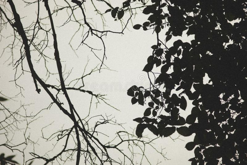 Filialer av träd i svartvitt royaltyfria bilder