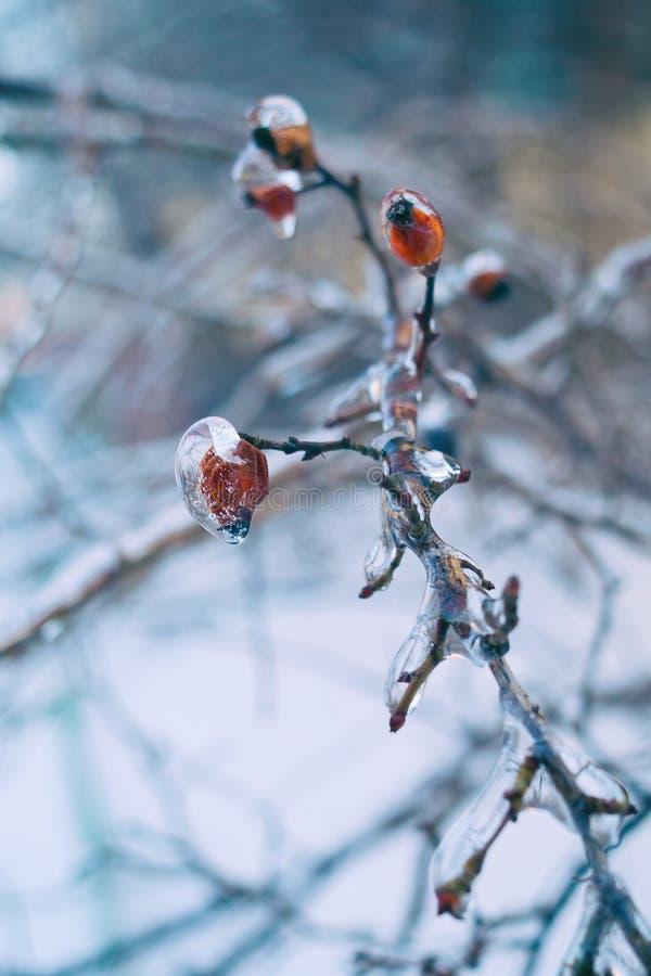 Filialer av trädet med röda bär efter regnar snöslask, isskorpan och istappar Gjort suddig julbakgrund arkivbilder