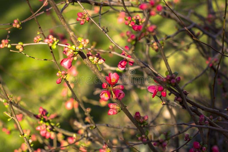 Filialer för blomningkörsbär, i tidig vår Djup suddig bakgrund arkivbild