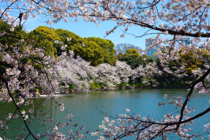 Filialer för körsbärsrött träd med blomningar för den vita blomman inramar en vårplats på den Chidorigafuchi vallgraven i Tokyo,  royaltyfri bild