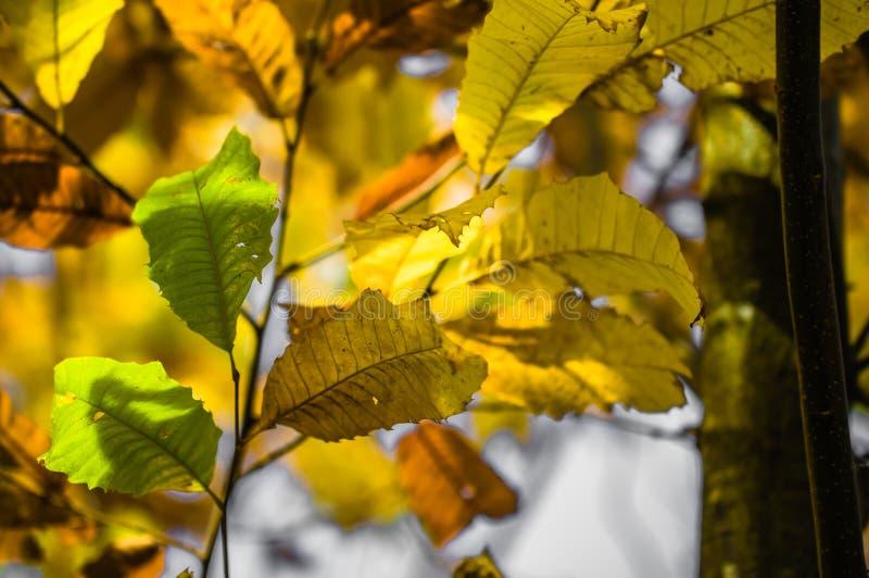 Filialer för kastanjebrunt träd i sidor för gräsplan för kastanj för nedgångsäsong, idérik bakgrundsmodell arkivfoto