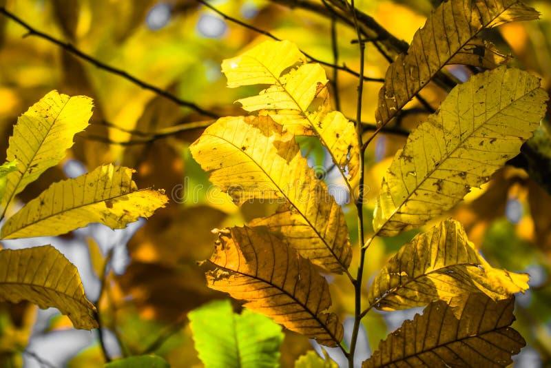 Filialer för kastanjebrunt träd i sidor för gräsplan för kastanj för nedgångsäsong, idérik bakgrundsmodell arkivbilder