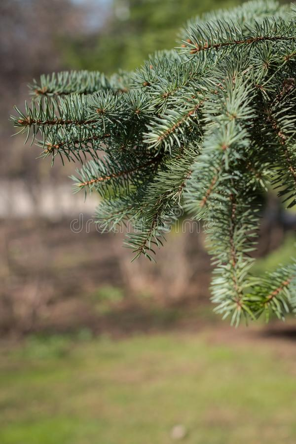 Filialer för vårpälsträd i parkerar royaltyfria bilder