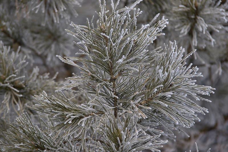 Filialer i rimfrostgräsplanvisare lilla kottar arkivfoto