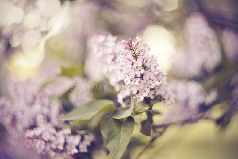 Filialer med blommor på buskar av den blomstra lilan royaltyfria bilder