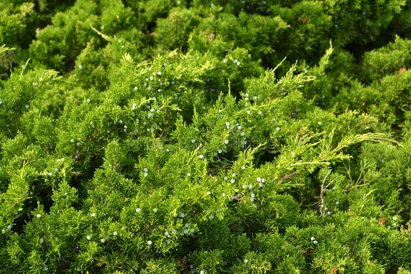 Filialer med frukter av occidentalis för en Juniperus för en västra hakar arkivfoto