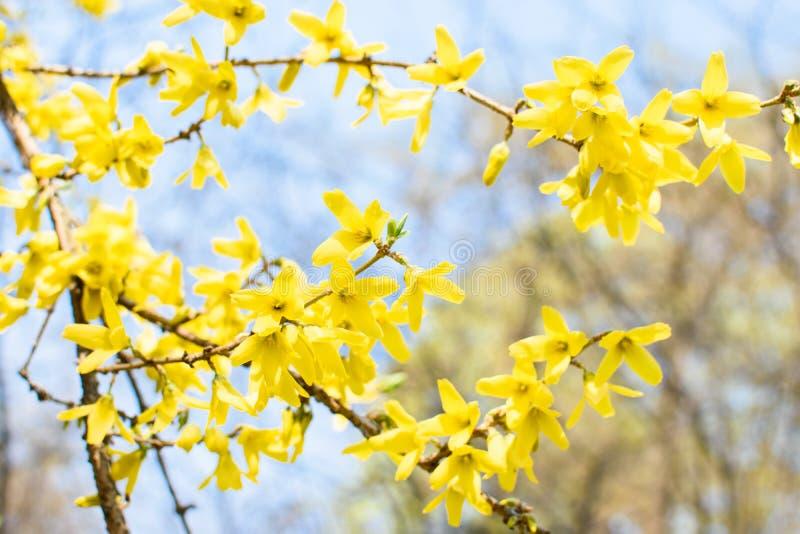 Filialer med gula forsythiablommor fotografering för bildbyråer