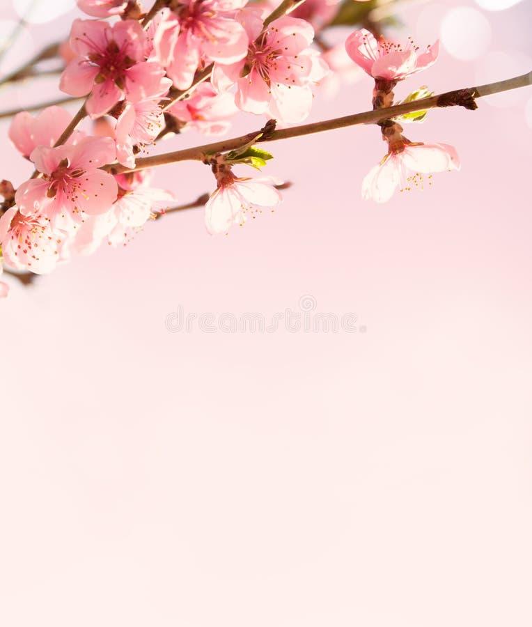 Filialer med härliga rosa blommor (persika) på rosa bakgrund. arkivfoto