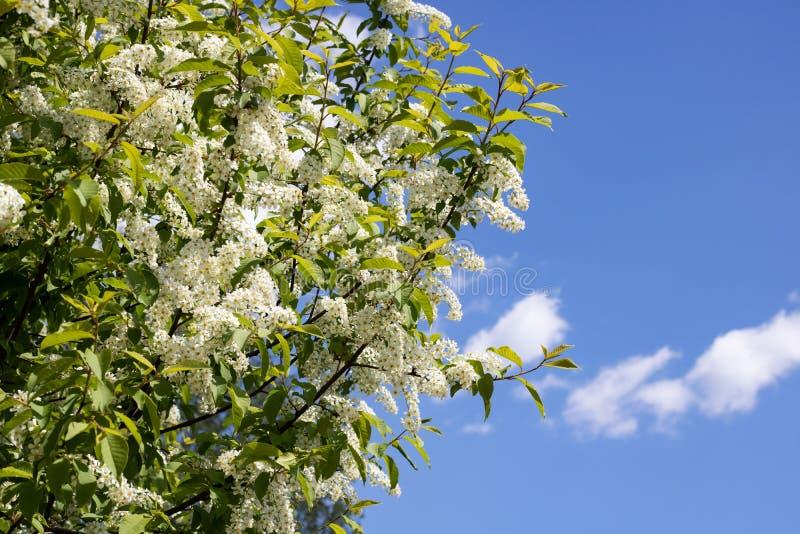 Filialer med vita blommor av hägget stänger sig upp i den blåa himlen arkivfoton