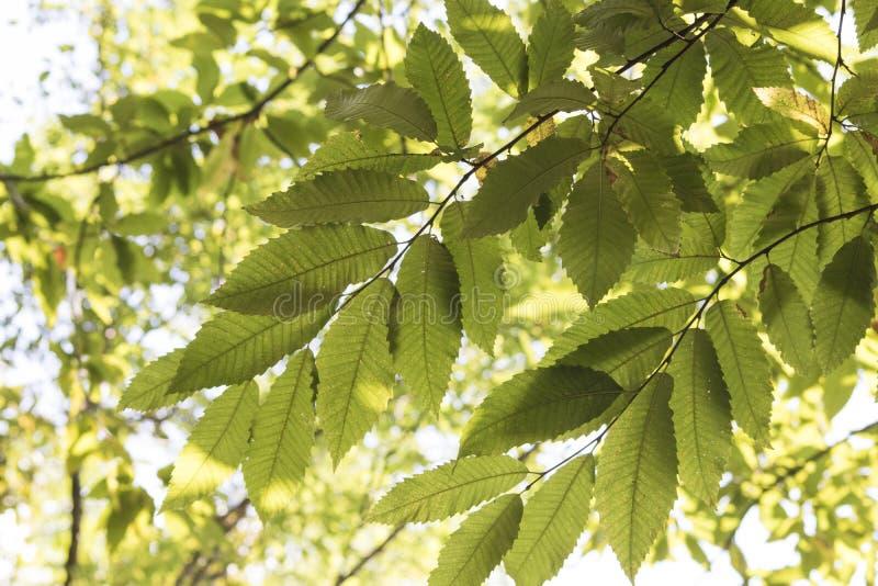 Filialer mycket av gröna sidor av ett kastanjebrunt träd arkivbilder