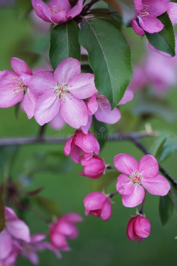 Filialer mycket av rosa blommaklungor på det Apple trädet arkivbilder