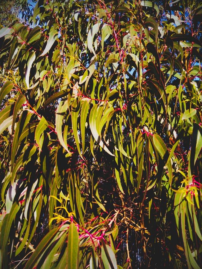 Filialer och eukalyptusblad royaltyfri foto