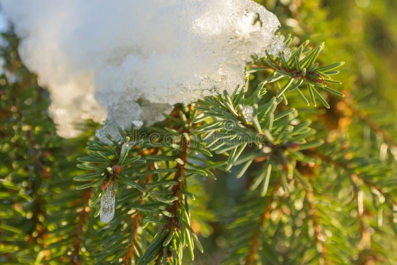 Filialer och visare av granen täckte med insnöat vinterskogen i Finland arkivfoto