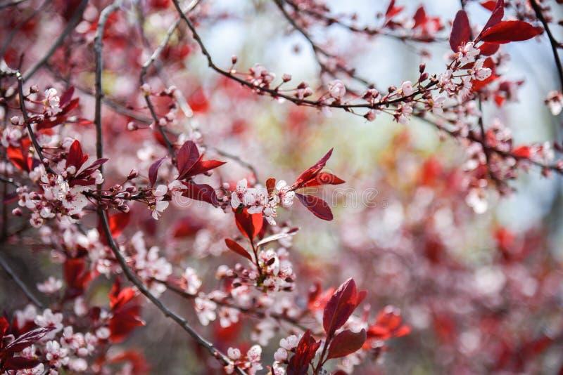Filialer som täckas i delikata vita körsbärsröda blomningar med röda sidor i tidig vår royaltyfria bilder