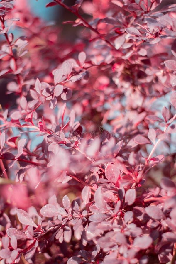 Filialerna och sidorna av barberryen fotografering för bildbyråer
