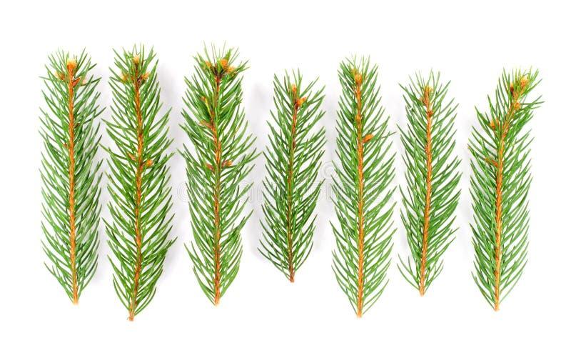 filialgreen sörjer treen royaltyfria bilder
