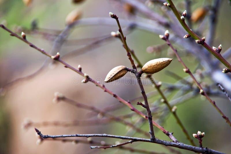 Filiali dell'albero di mandorla fotografia stock libera da diritti