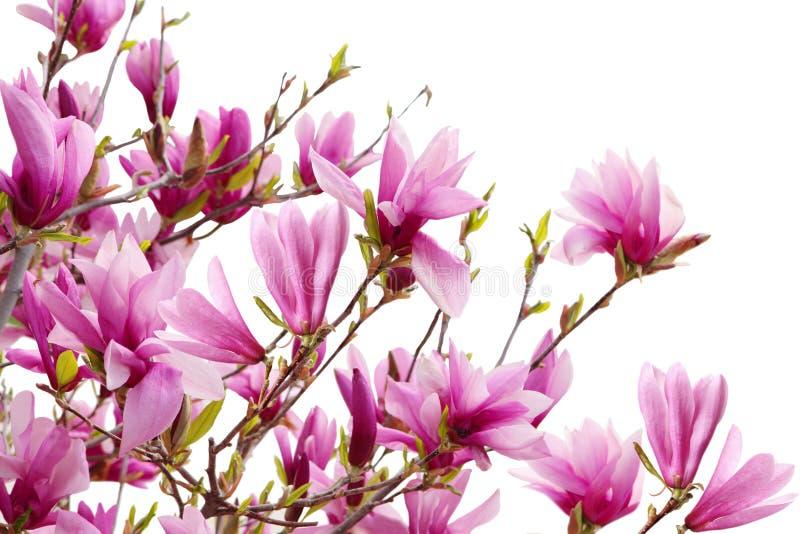 Filiali della magnolia immagine stock