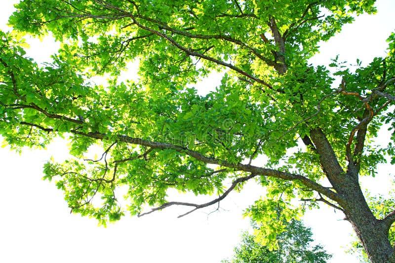 Filiali della quercia fotografie stock