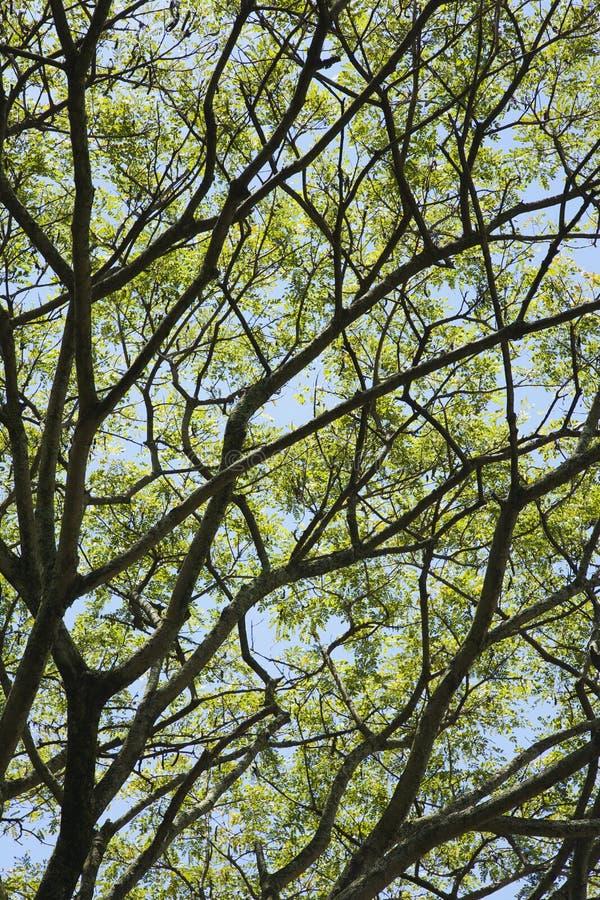 Filiali di albero con i fogli ed il cielo. fotografia stock libera da diritti