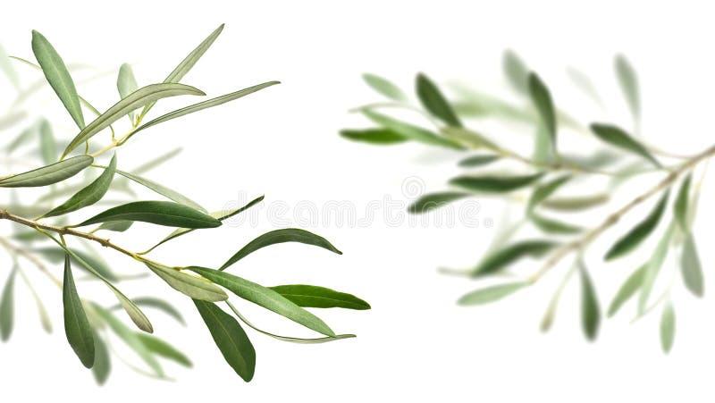 Filiali di olivo fotografia stock libera da diritti