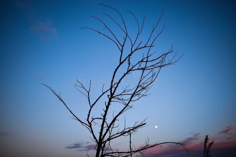 Filialkonturer av det torra trädet mot solnedgånghimlen royaltyfri foto