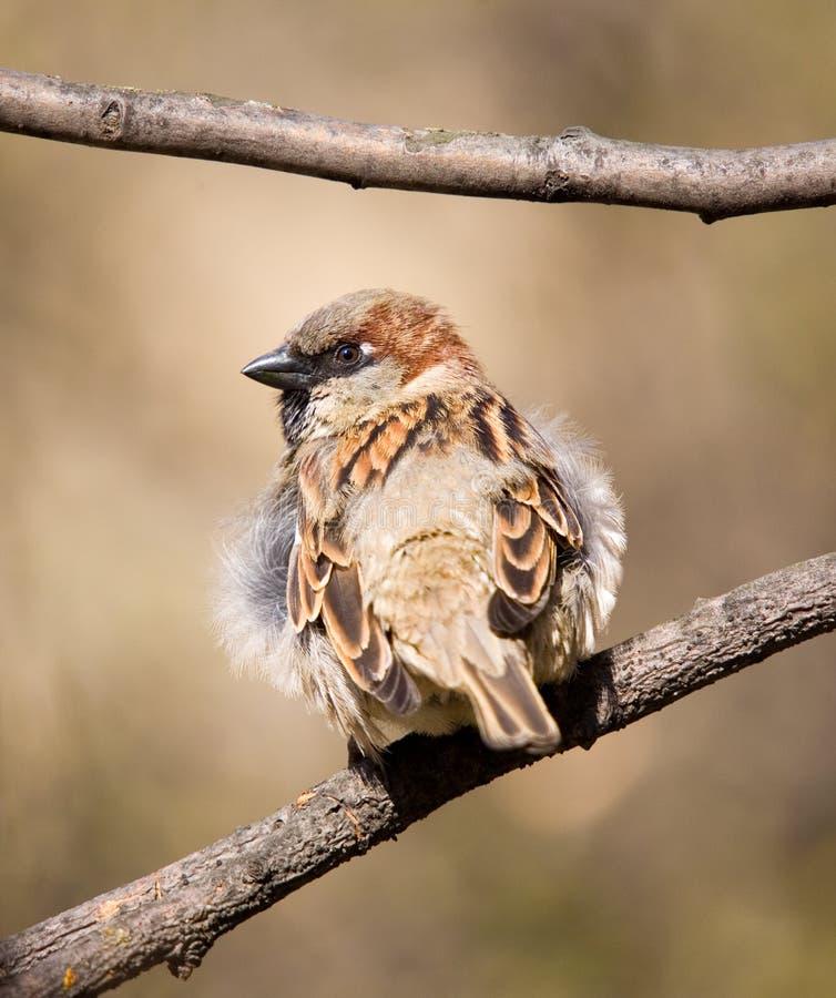 filialsparrow arkivfoto