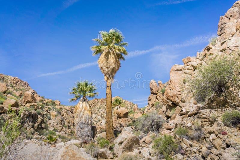 Filifera de Washingtonia de las palmeras de la fan en el oasis perdido de las palmas, un punto que camina popular, Joshua Tree Na imagen de archivo libre de regalías