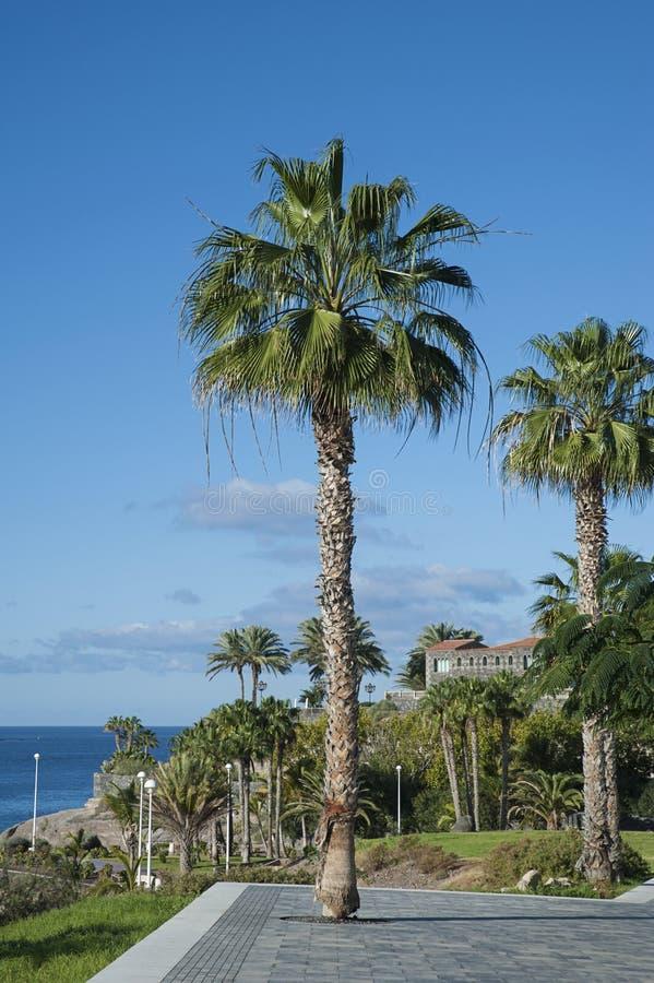 Filifera Washingtonia, επίσης γνωστό ως φοίνικας ανεμιστήρων Καλιφόρνιας, Playa del Duque, Tenerife, Ισπανία στοκ φωτογραφία με δικαίωμα ελεύθερης χρήσης