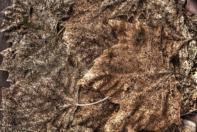 Filigraan op esdoornbladeren royalty-vrije stock afbeeldingen