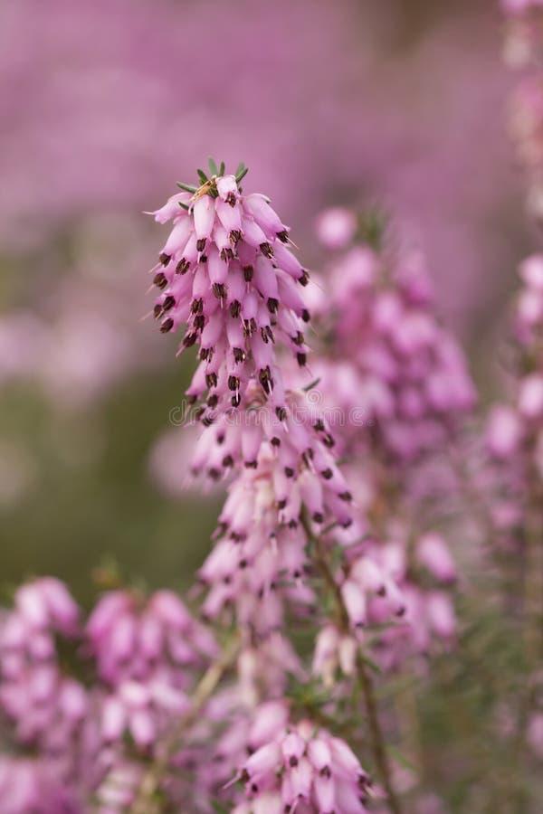 Filigraan roze Heidekruiden Erica royalty-vrije stock foto's