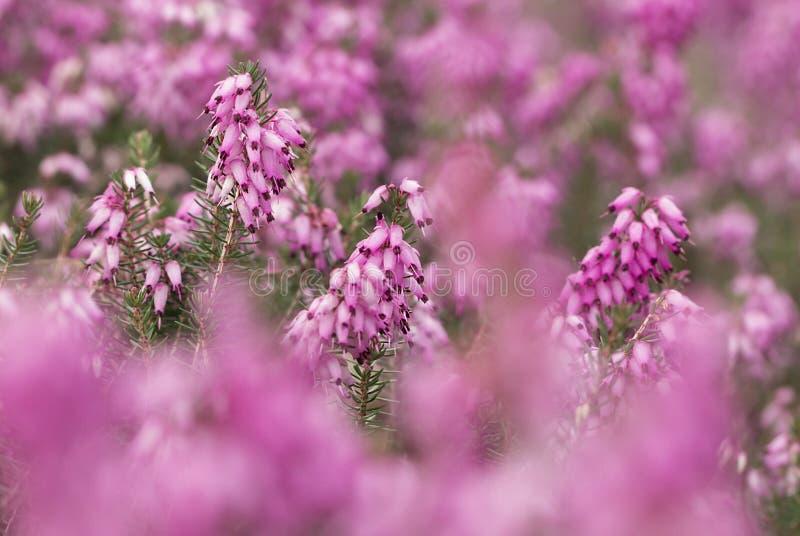 Filigraan roze Heidekruiden Erica stock afbeelding