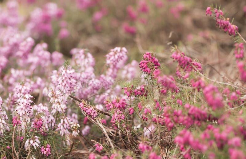Filigraan roze Heidekruiden Erica stock foto's