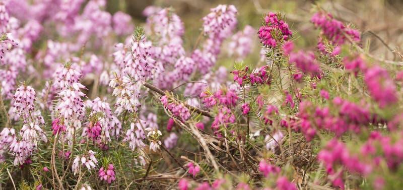 Filigraan roze Heidekruiden Erica royalty-vrije stock fotografie