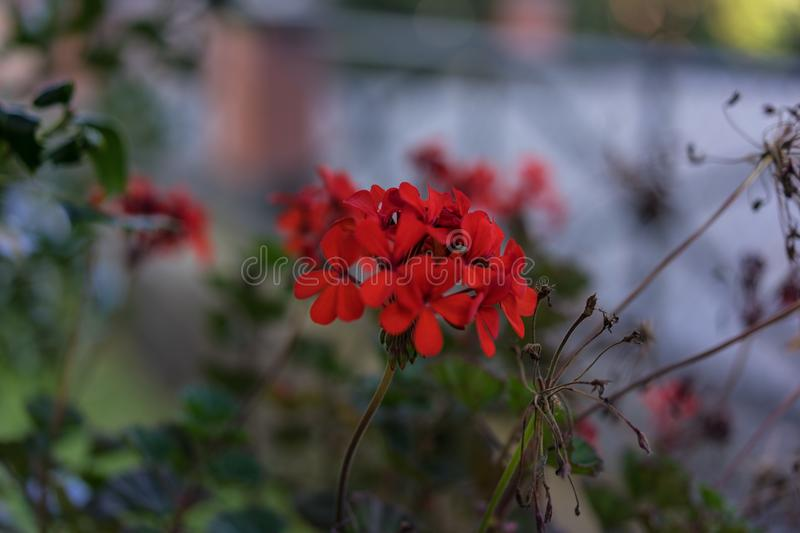 Filigran small red flower bloomin in garden. Bokeh royalty free stock image