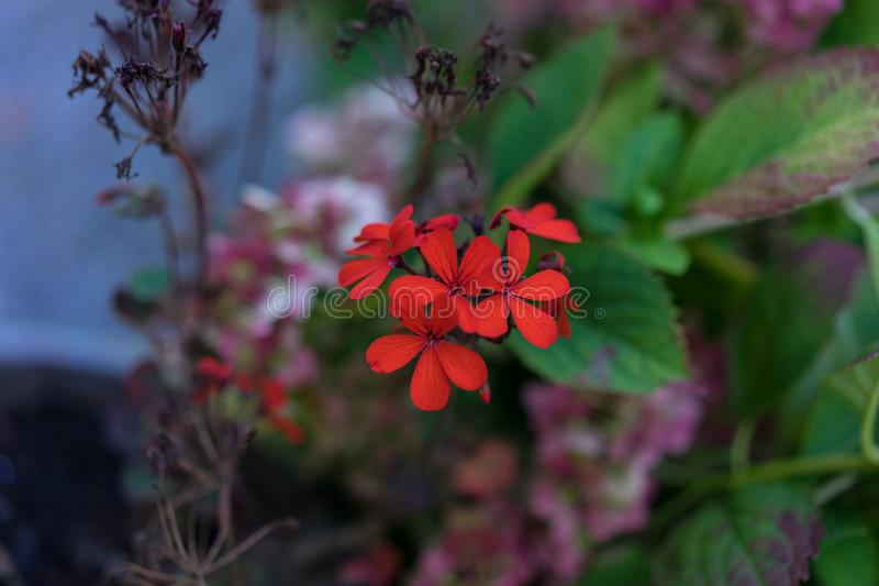 Filigran small red flower bloomin in garden. Bokeh stock image