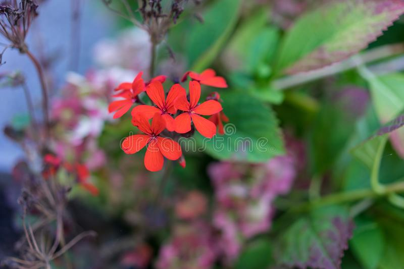 Filigran small red flower bloomin in garden. Bokeh royalty free stock photography