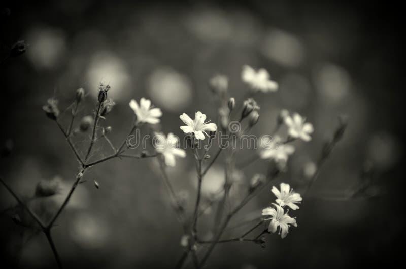 Filigranowi Biali kwiaty zdjęcia stock