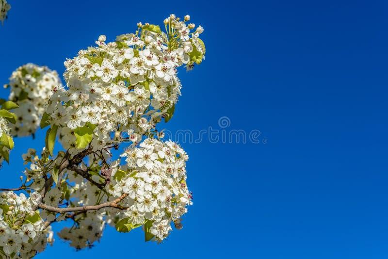 Filigranowi biali kwiaty na gałąź drzewo odizolowywający przeciw jasnemu niebieskiemu niebu obraz royalty free