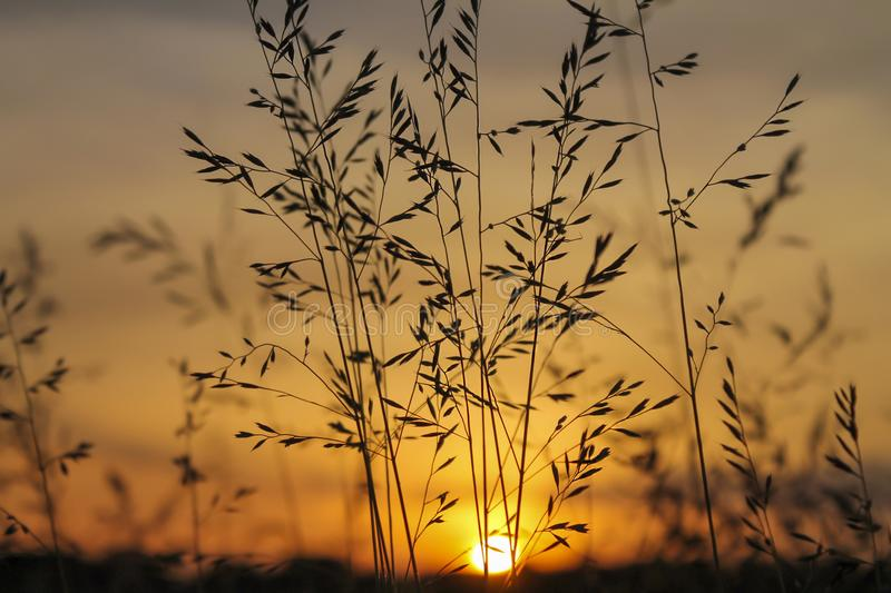Filigree Grasses at beautiful sunrise. Macro of filigree Grasses at beautiful sunrise royalty free stock image
