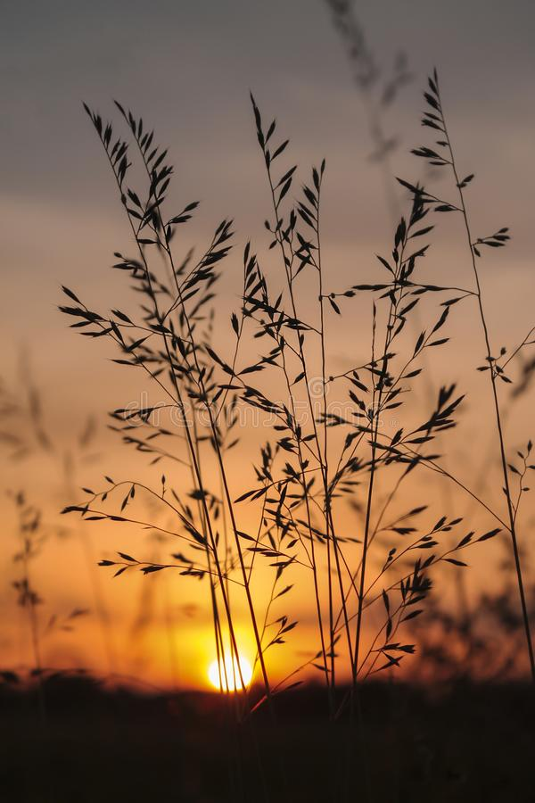 Filigree Grasses at beautiful sunrise. Macro of filigree Grasses at beautiful sunrise royalty free stock photo