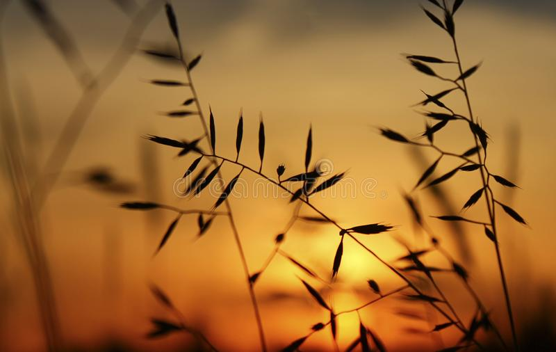 Filigree Grasses at beautiful sunrise. Macro of filigree Grasses at beautiful sunrise stock photo