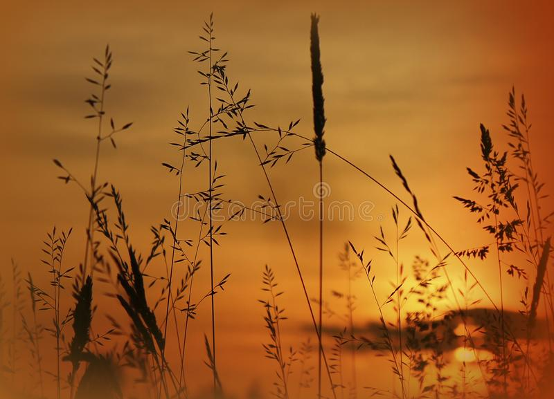 Filigree Grasses at beautiful sunrise. Macro of filigree Grasses at beautiful sunrise royalty free stock photos