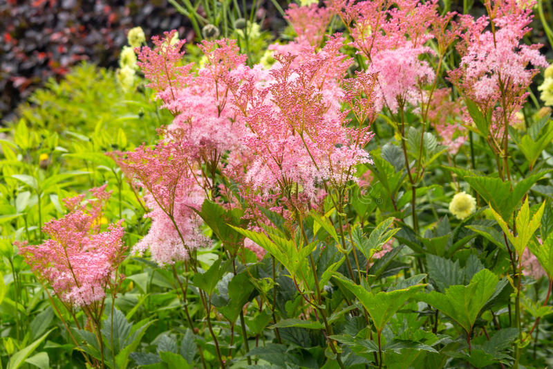 Filipendula rubra 'Venusta', pink grass in the old garden stock photography