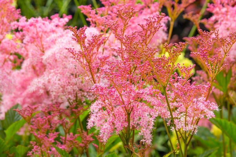 Filipendula rubra 'Venusta', pink grass in the old garden stock photo