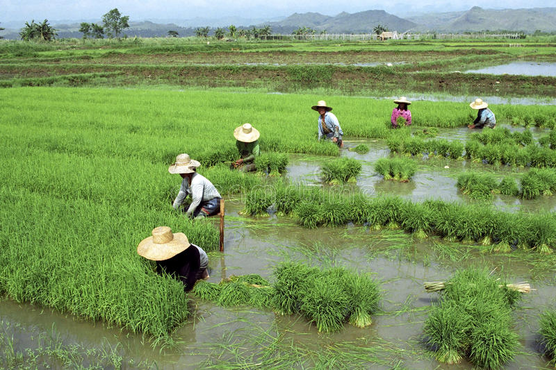 Filipijnse vrouwen die in een padieveld werken stock afbeeldingen