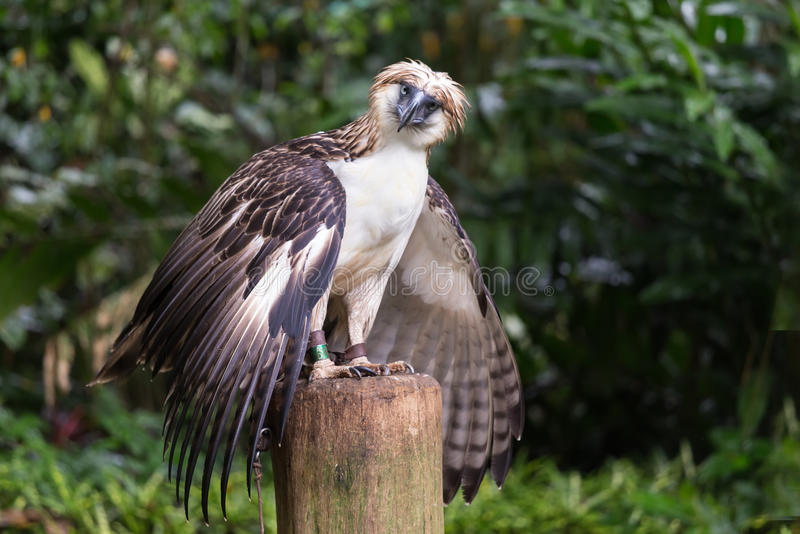 The Filipino eagle. Is a very rare and endangered species living in the Davao province in Philippines stock photos